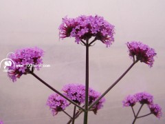 柳叶马鞭草种子批发1公斤