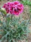芳香植物香石竹简介及种植栽培