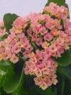 长寿花的美丽传说