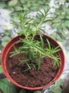 迷迭香的扦插种植方法