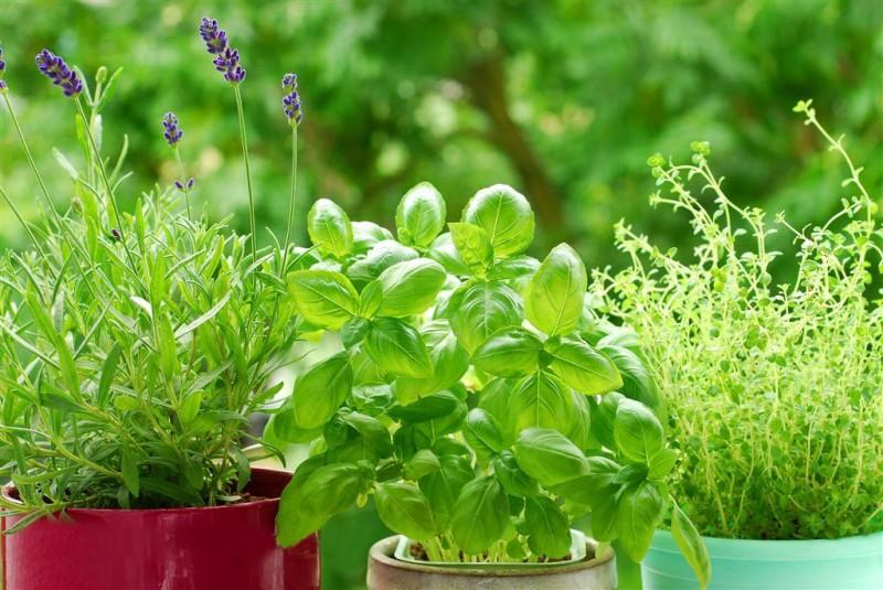 什么是芳香植物?