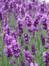 芳香植物的药用价值 看看有没有您喜欢的香草