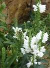 花语大全:神香草的花语和象征意义