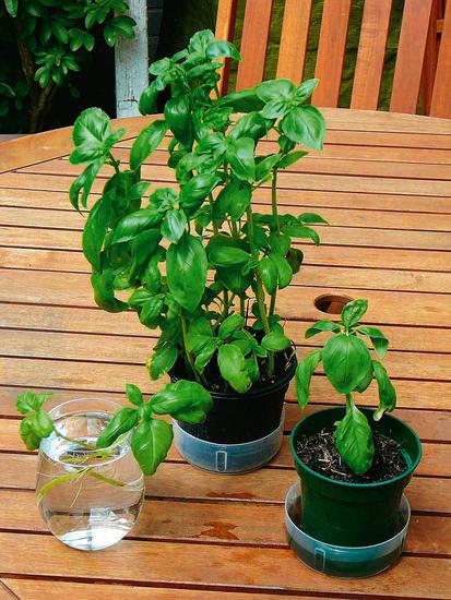 这些香草类作物,原本是西餐中的辅料,现在种植身价倍增
