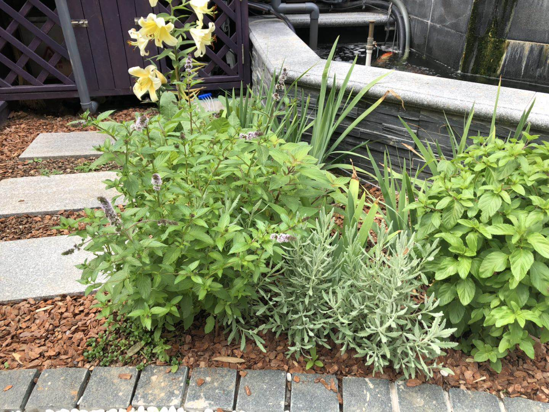 可以给夏季花园视觉降温的13种银叶植物