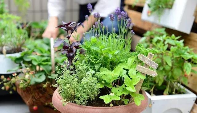 生活中常见的盆栽香草,芳香淡雅香水都不用买了!
