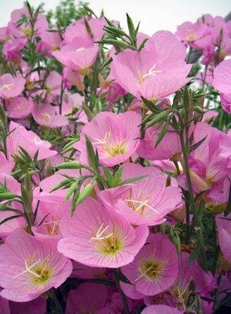 美丽月见草:香飘四溢、花色靓丽的美丽月见草,快来看看吧