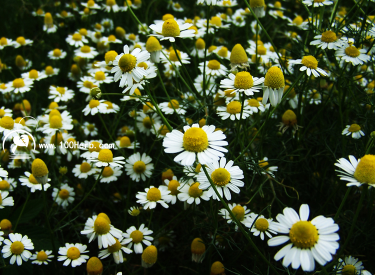 百草香基地的德国洋甘菊开花了,欢迎摄影爱好者前来采风