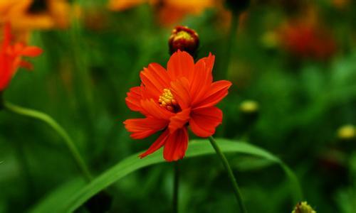 硫华菊的花语是什么?